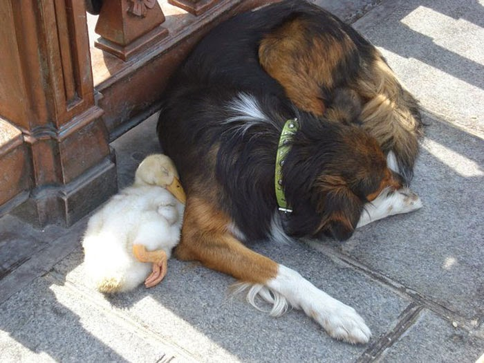 BEST FRIENDS DOG AND DUCK NAP ON A PARIS SIDEWALK
