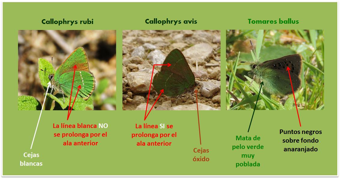 Tomares ballus, Callophrys rubi y avis