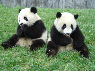 """giant panda and wildlife conservation essay Help endangered pandas: home endangered panda essay  """"the great and giant panda bears have been listed as endangered in the 1980s, and the population of the ."""