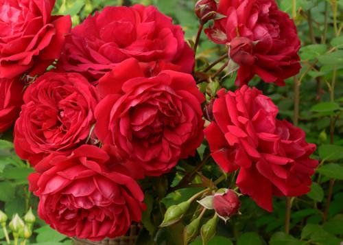 Simpathie rose сорт розы фото