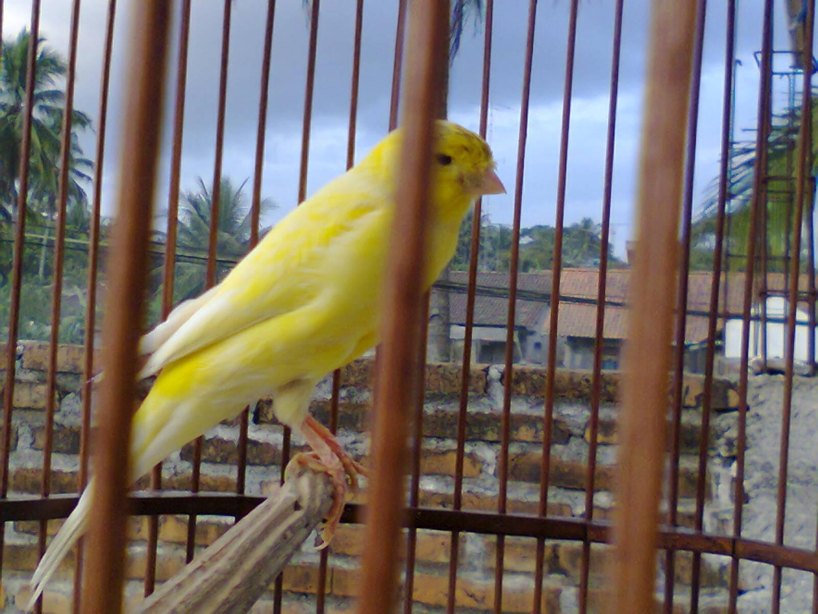 Senandung Burung Pejantan Kenari Yorkshire