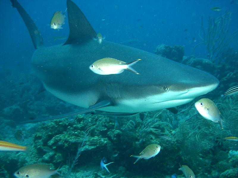 Bull Shark | Animal Unique