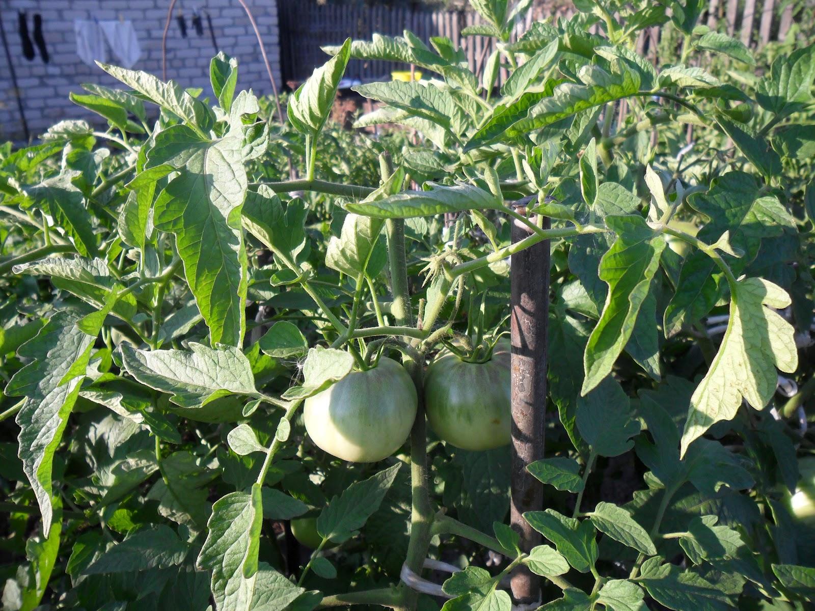 vkusniogorod - Прищипка верхушек помидоров