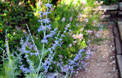 Annieinaustin Russian Sage in border