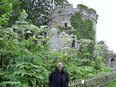 The Garrison Tower at Usk Castle, and Giant Hogweed plants.