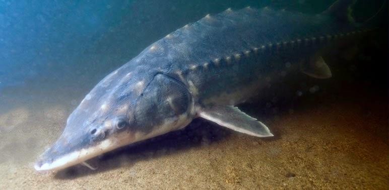 http://www.todayszaman.com/national_endangered-fish-harmed-by-sakarya-dam_366500.html
