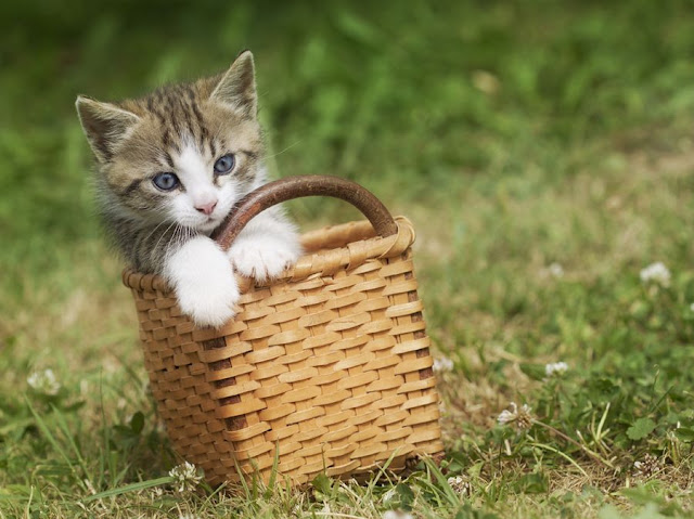 Funny cat pictures part 14, cat in basket