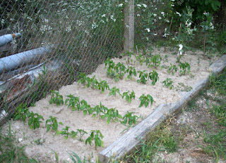 Peppers and Broad Beans