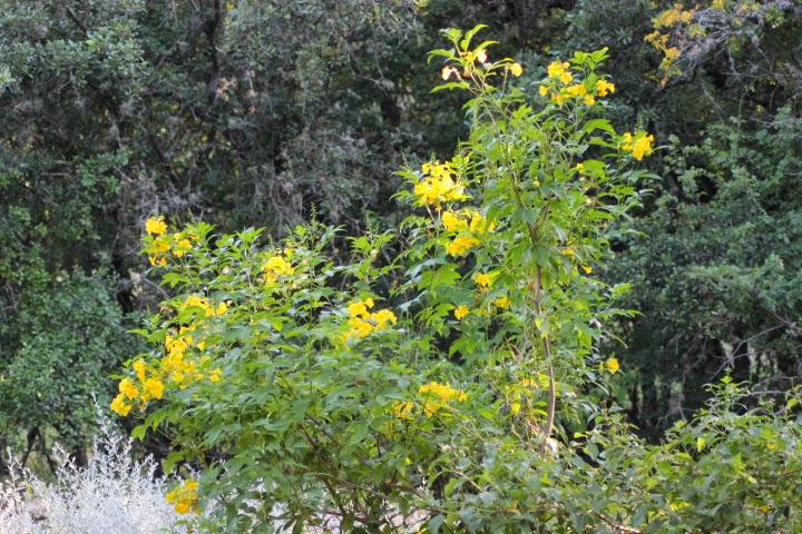Rock oak deer plant abcs t is for tecoma stans when i first began observing local landscapes for ideas the striking esperanza with its bright yellow flowers from spring to fall stood out as a must have mightylinksfo