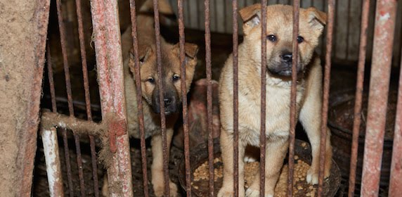 Stop Korean and Chinese Torture on dogs and cats
