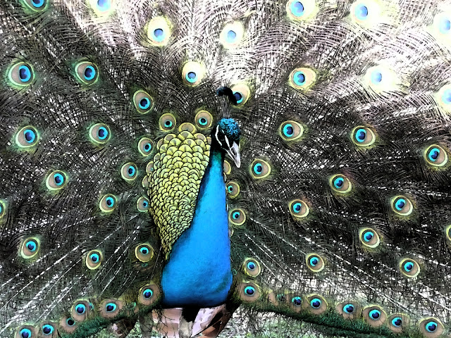 Close up image of a peacock.