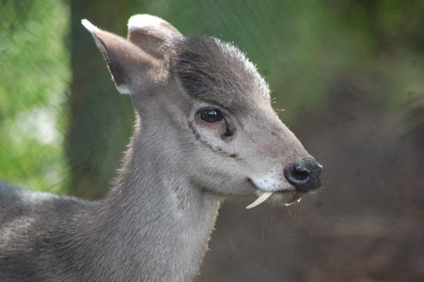 Tufted Deer - 22 Bizzarre Animals You Probably Didn't Know Exist