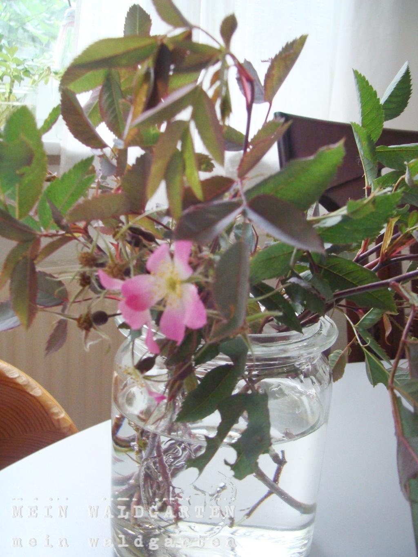mein waldgarten ich hab 39 sie glauca die rose. Black Bedroom Furniture Sets. Home Design Ideas