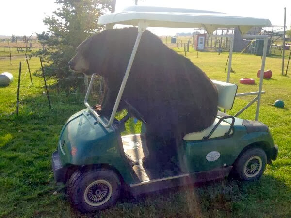 Funny animals of the week - 13 December 2013 (40 pics), bear riding golf car