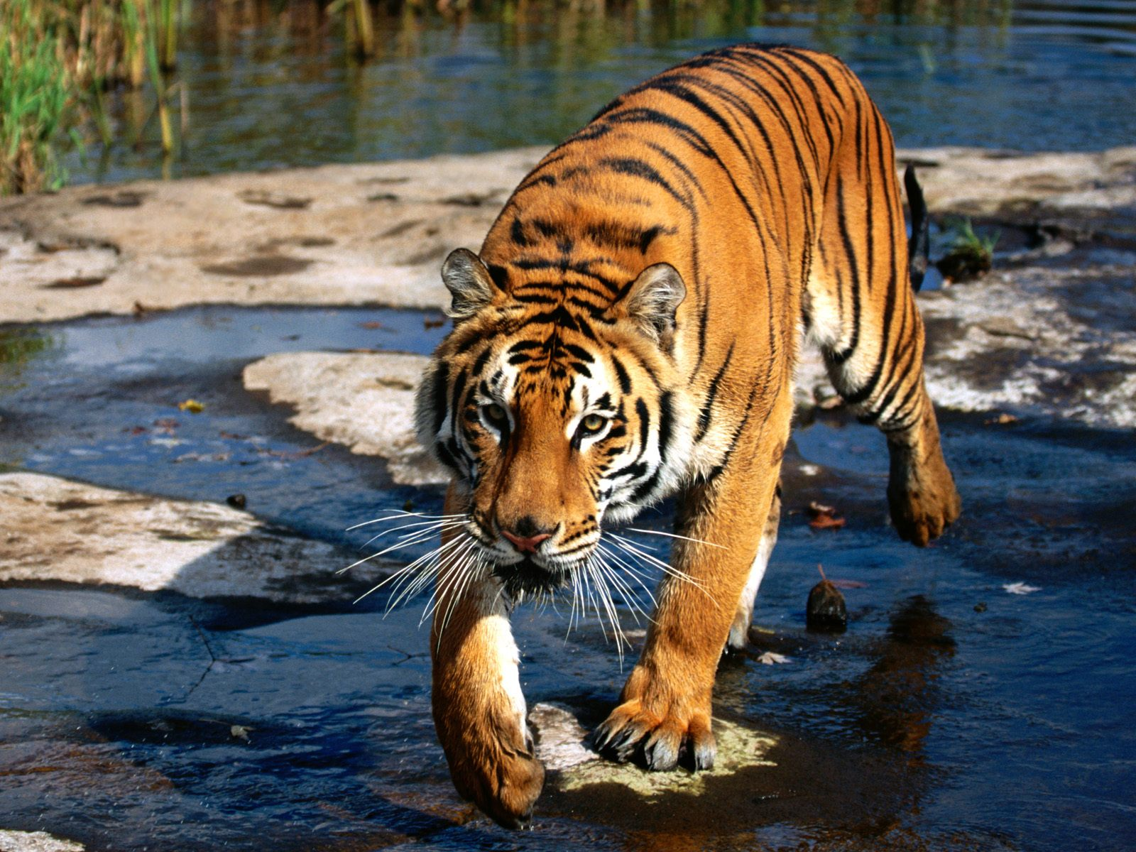 prowler bengal tiger wallpapers - Prowler Bengal Tiger Wallpapers HD Wallpapers
