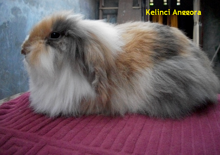 gambar kelinci anggora