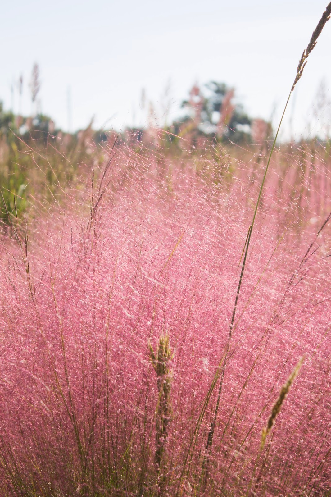 Cotton candy ornamental grass - Close