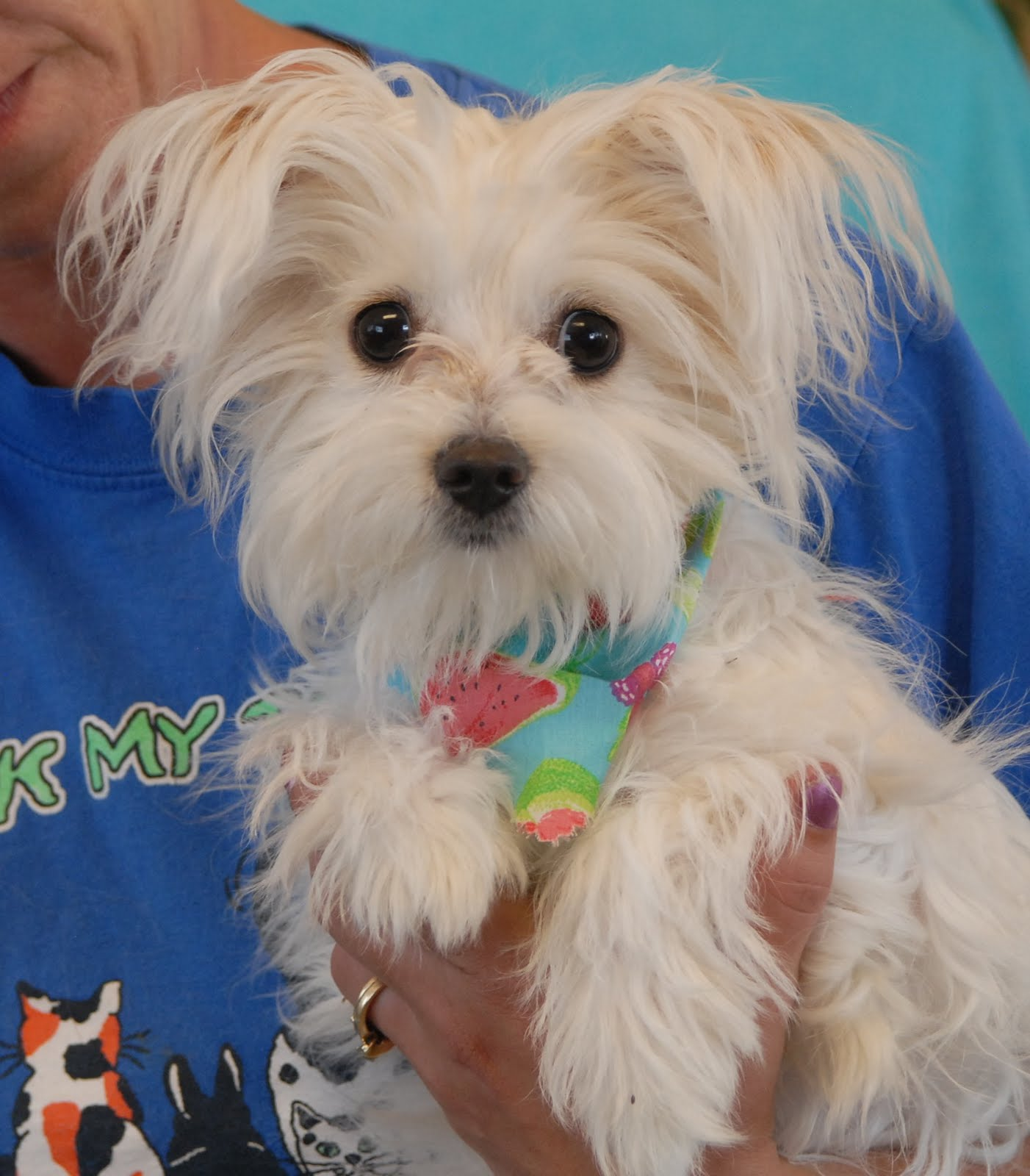 Nevada SPCA Animal Rescue Lullaby is an angelic young Maltese who