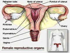 Artificial Ovary