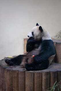 pandas in the zoo in Scotland