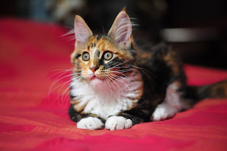 Maine Coon Cat Picture