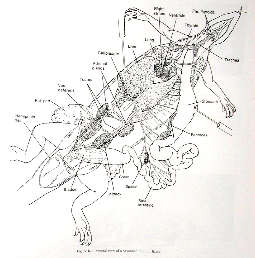 Brave New World : Anatomy, Skeletal And General Info Of A Bearded Dragon