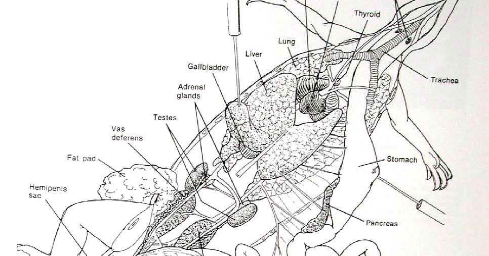 Brave New World Anatomy Skeletal And General Info Of A Bearded Dragon