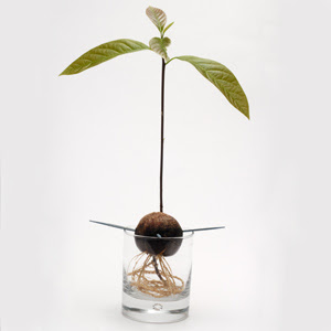 Avocado seed grow