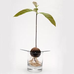 Avocado seed grow