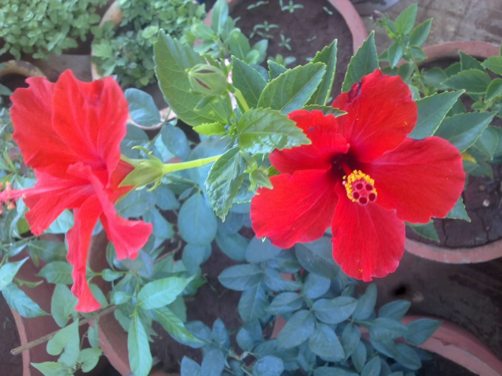 Plants growing in my potted garden june 2015 red hibiscus is a very hardy plant and does not get easily effected by any garden pestonce the flowering seems to slow down you can trim the plant to keep izmirmasajfo Image collections