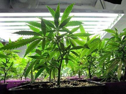 Semillas de Cannabis - Periodo vegetativo de la Cannabis