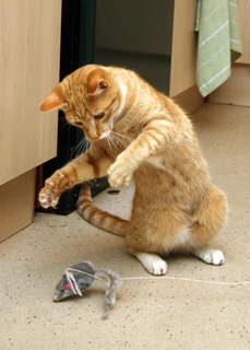 Ginger cat playing with mouse toy