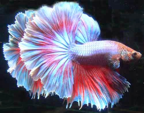 Fighter fish types - photo#23