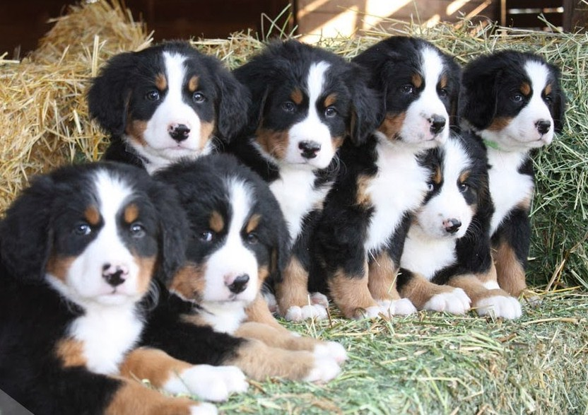 Everything about your Bernese Mountain Dog - LUV My dogs Bernese Mountain Dog Rescue