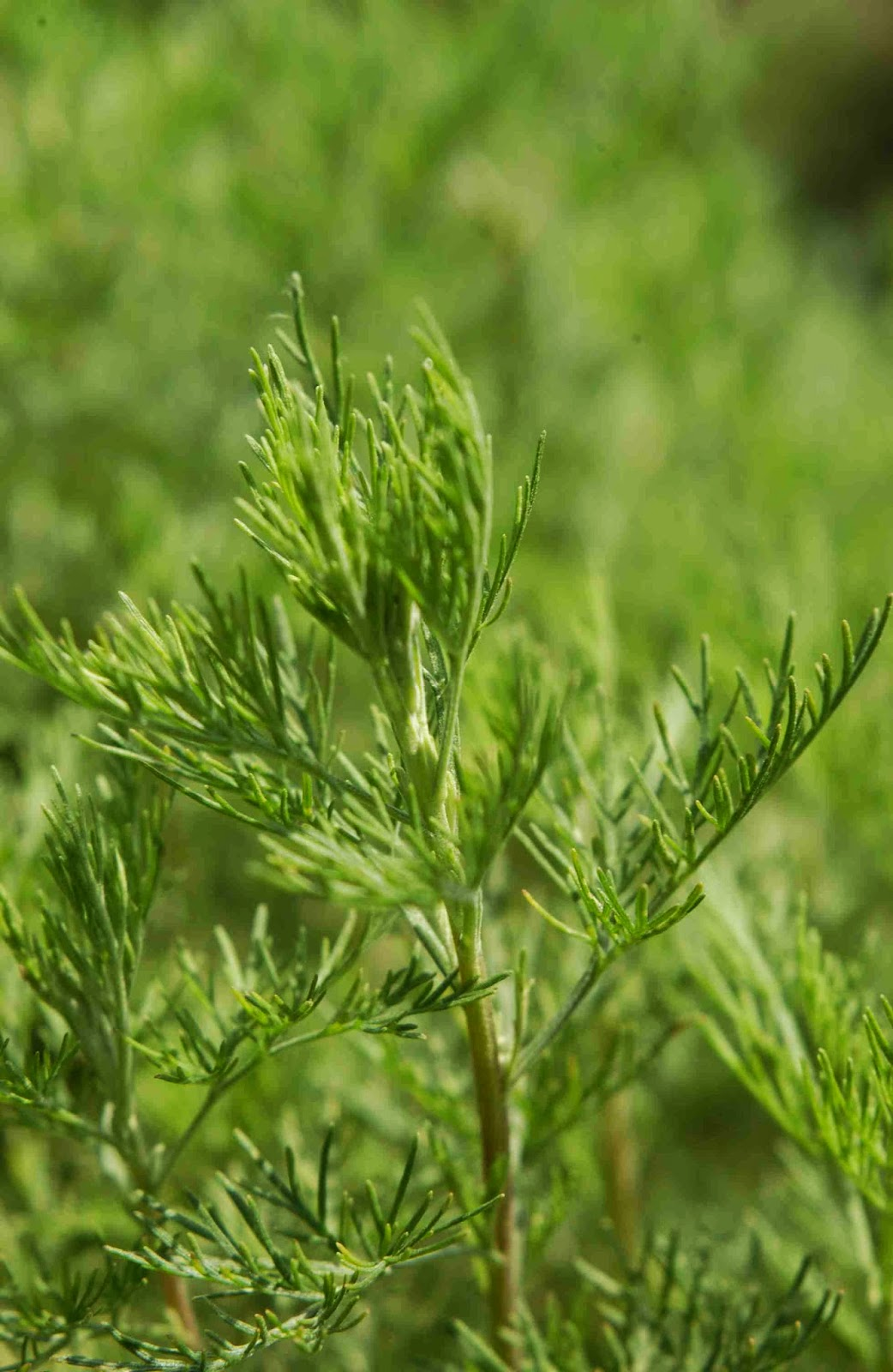 Southernwood (Artemisia Abrotanum) Overview, Health Benefits, Side effects