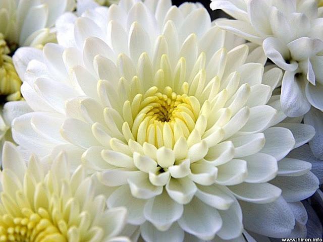 للتأمل جمال الطبيعة 2016 احلي white-dahlia-6w.jpg