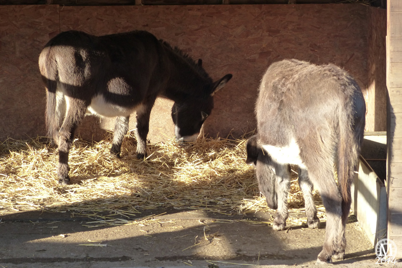 Donkeys at Foxborough Farm, Hainault Forest Country Park
