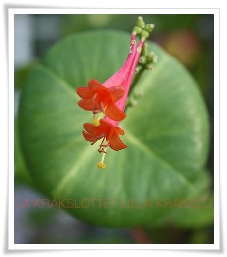 Blommande kaprifol