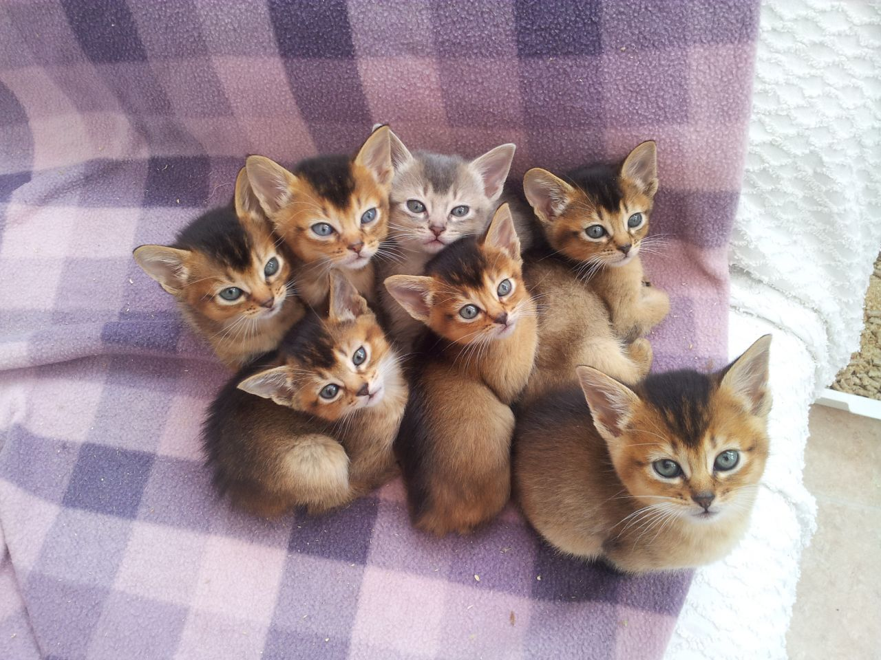Abyssinian cats for sale kansas city – Popular breeds of cats ...