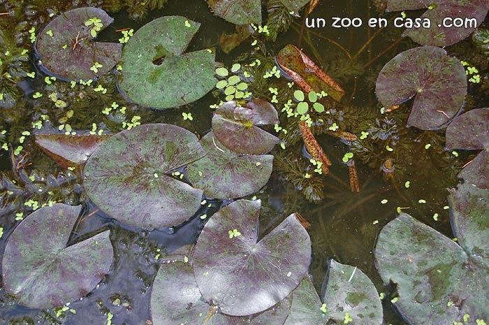 un zoo en casa: nenúfar (nymphaea sp.)