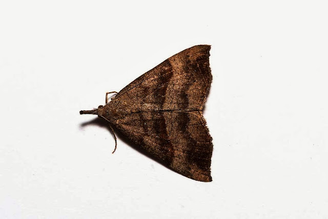 The Snout moth - Photographed in Milton Keynes