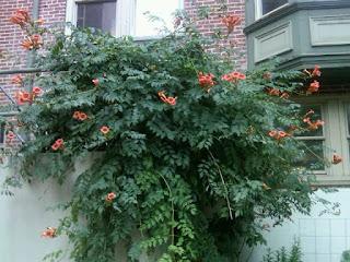 trumpet vine, yard waste, gardening, tj's green adventure