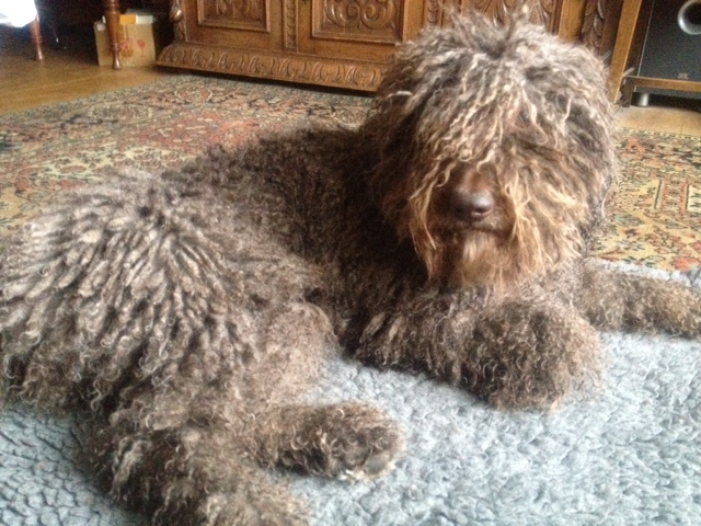 How to groom matted spanish water dog