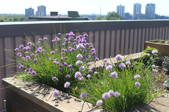chives were one of the first flowers to bloom after Toronto's cold winter