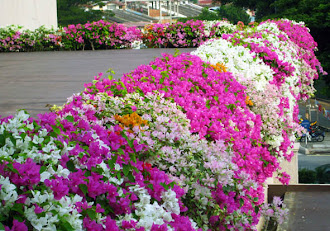 Bougainvillea Flaunt @ Casa Del Rio