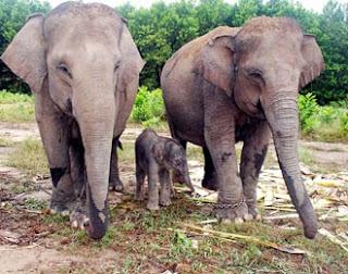 gambar gajah kawin - foto hewan