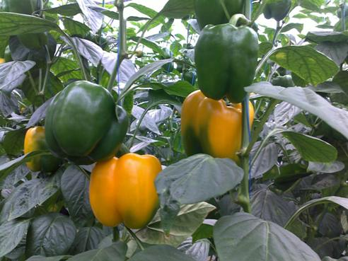 Planting and Grow Bell Pepper Plant In Pots  Care For Plant