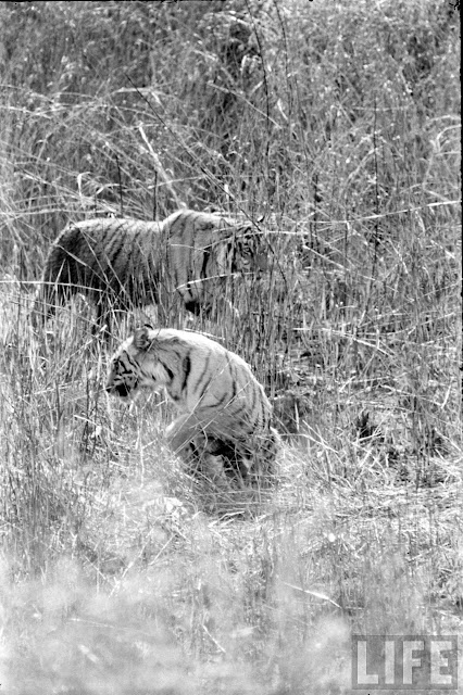 Tiger+Hunting+Photographs+of+India+-+1965+%252820%2529