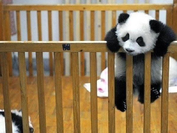 Photo bébé panda très mignon