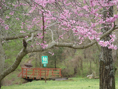 Finger Park, Fayetteville, Arkansas.  Redbuds in Bloom